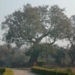 アーナンダ菩提樹(祇園精舎跡)