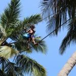 椰子のプランテーション